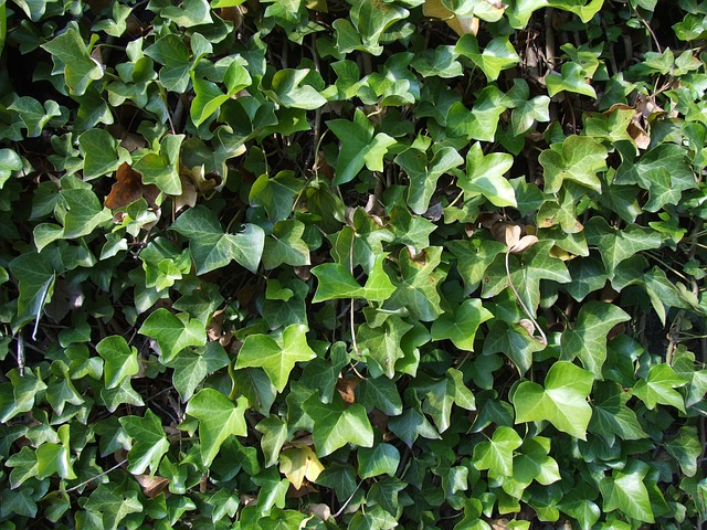 Ivy on a wall, which may hold the key to stronger airsoft gear