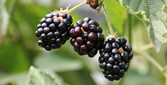 Blackberries on branch – keep your survival knife handy and they could help you in a tight spot.