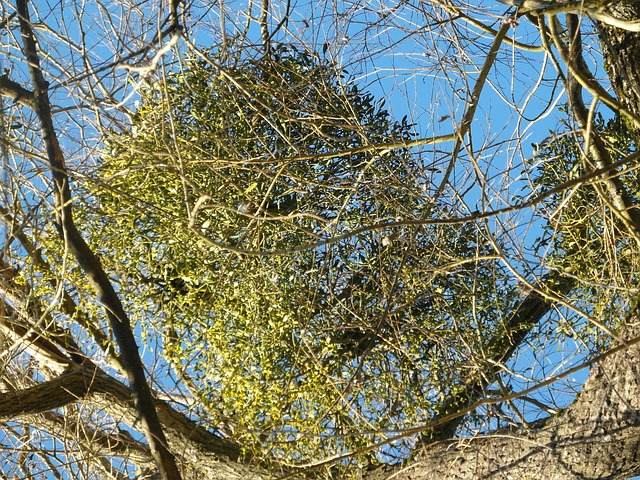 Mistletoe in a tree, which is to be controlled by new, special air gun