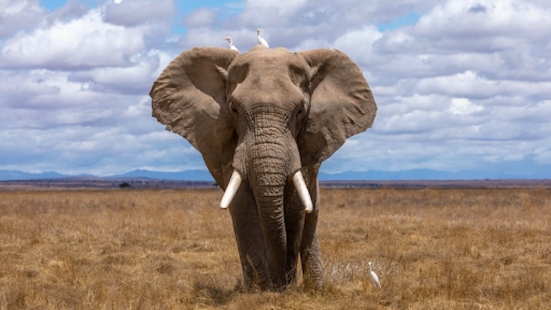 An elephant in the wild