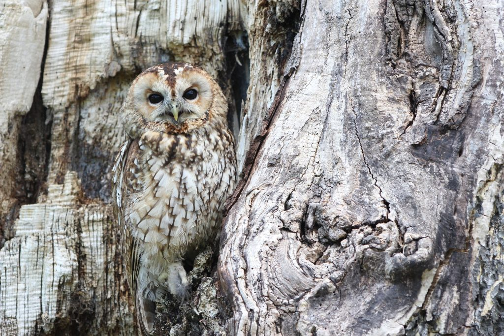 A camouflaged owl
